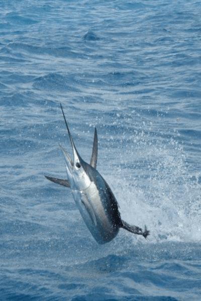 Catching Sailfish in Miami, Florida