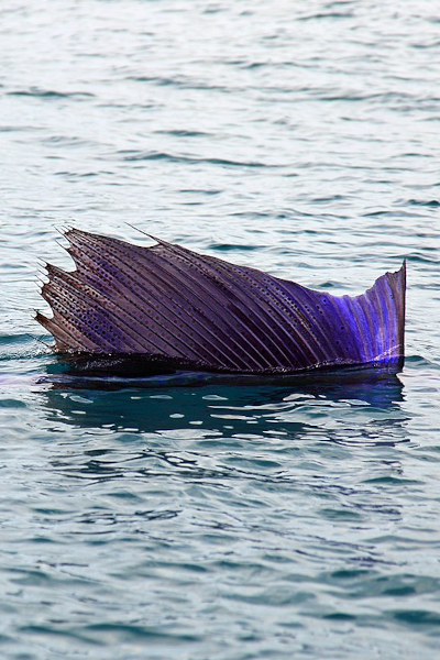 Sailfish Season in Miami, Florida